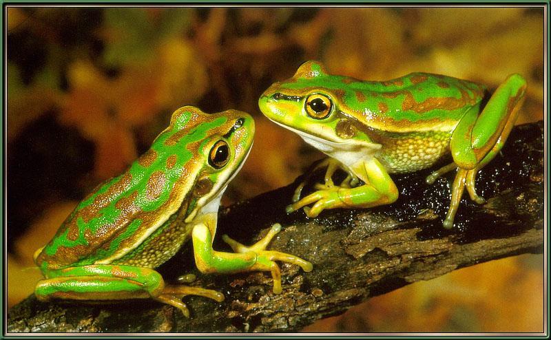 Golden Bell Frog