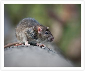 Mice Control Woy Woy
