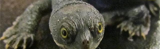 pet turtle reptile license