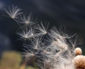 floating wish seeds